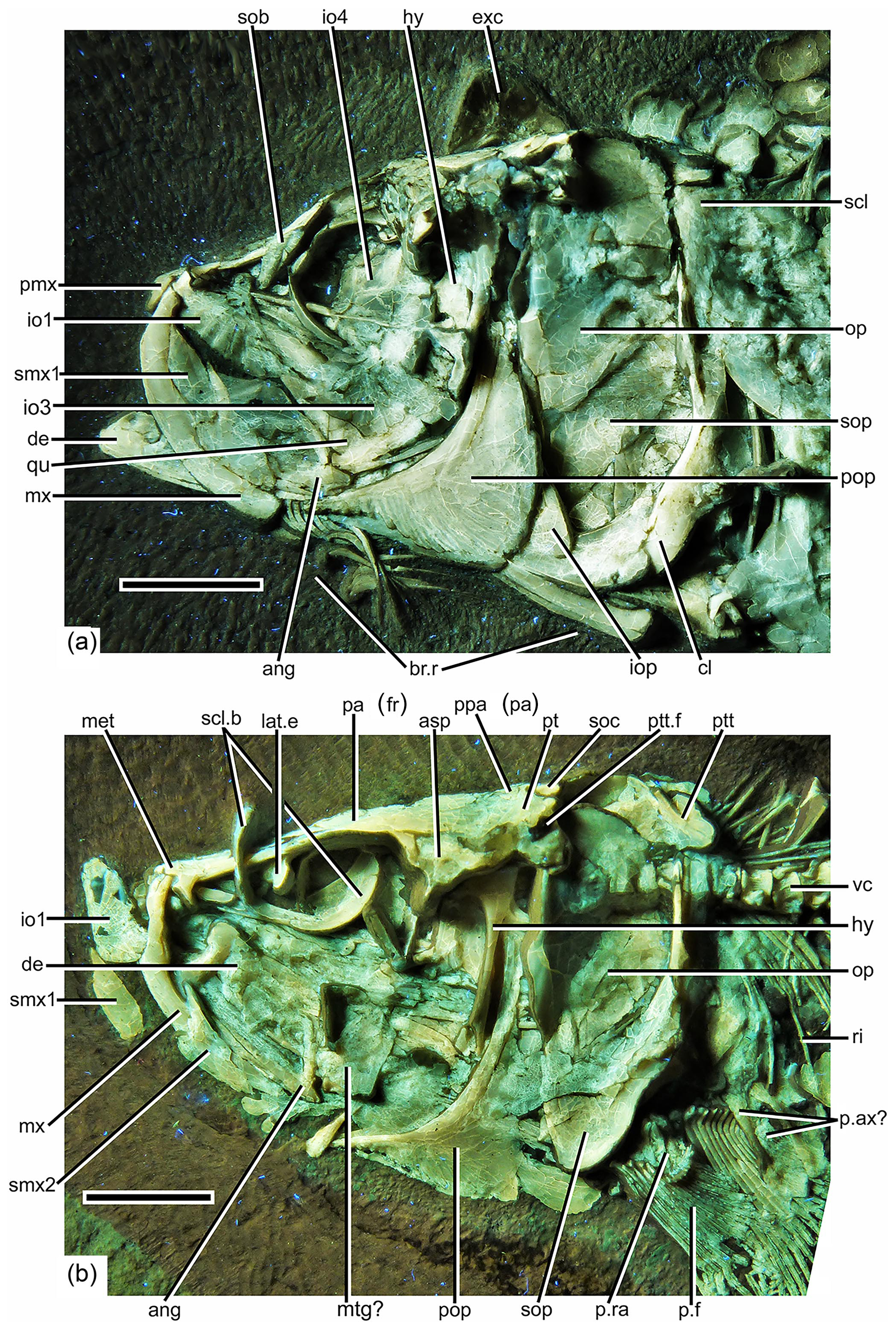 FR - On a remarkable new species of Tharsis, a Late Jurassic