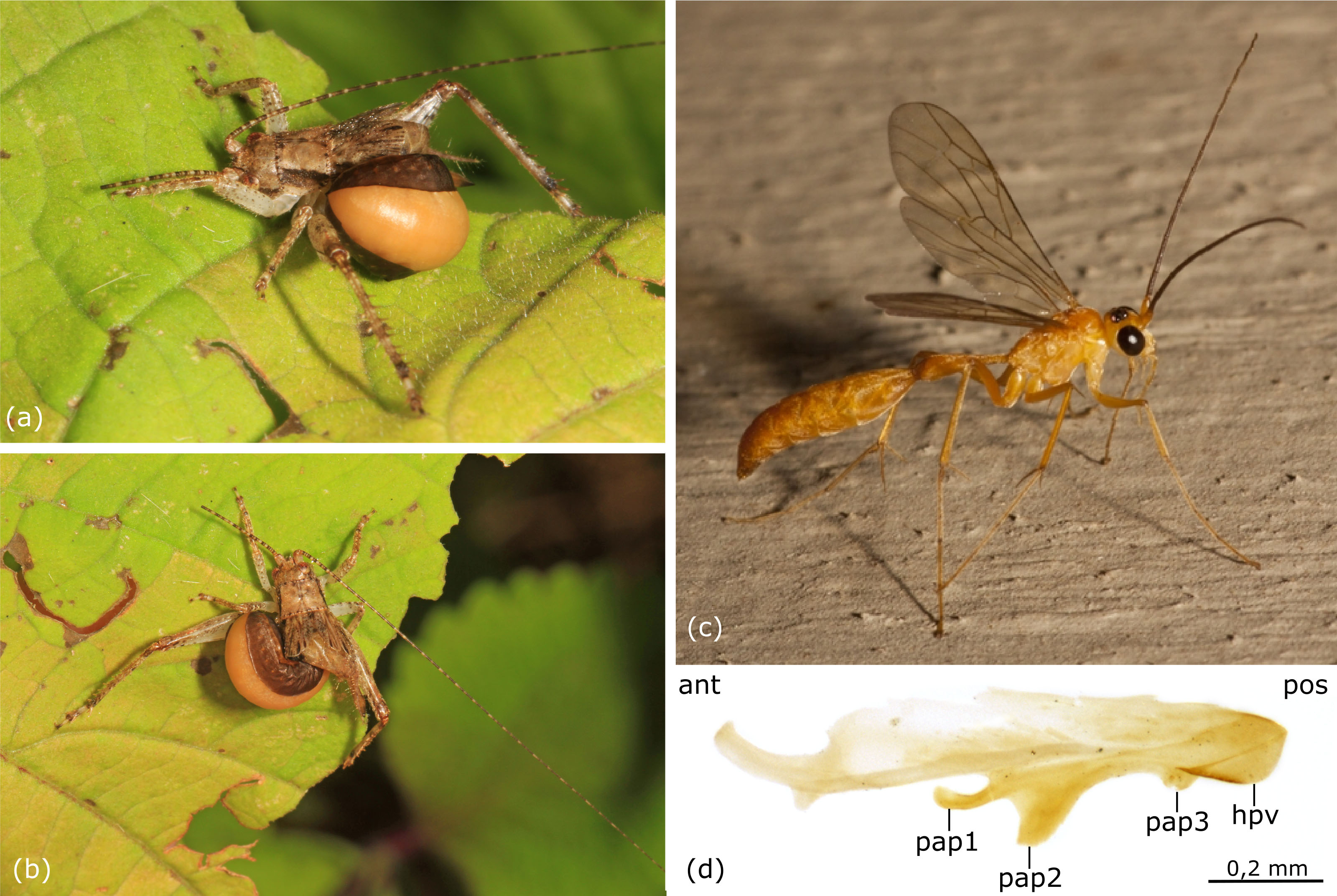 FR - Notes on rhopalosomatid wasps of Dominican and Mexican